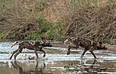 African Hunting dog pups at play