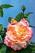 Rose (Rosa 'Arc de Triomphe')