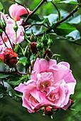 Rose (Rosa 'Blossomtime')