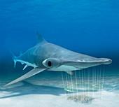 Shark electroreception,illustration