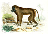 Mandrill,19th Century illustration