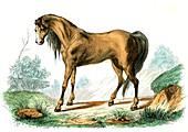 Horse,19th Century illustration