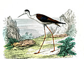 Black-winged stilt,illustration