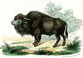 American bison,19th Century illustration