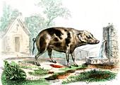 Domestic pig,19th Century illustration