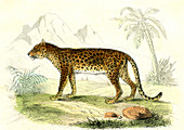 Leopard,19th Century illustration