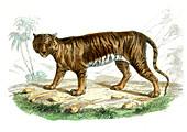 Tiger,19th Century illustration