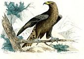 Golden eagle,illustration