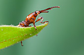 Weevil with mites