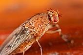 Acalyptrate fly