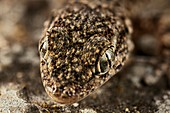 Gecko head