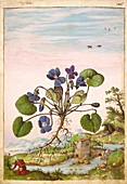 Violet (Viola odorata),illustration