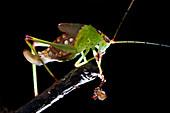 Katydid with pseudoscorpion