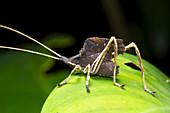 Leaf mimic bush-cricket