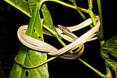 Striped Sharpnose Snake