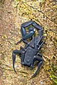 Ecuadorian Black scorpion