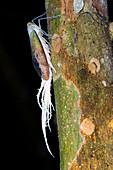 Wax tailed bug