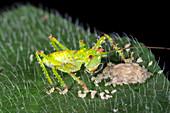 Baby Thorny Devil katydid