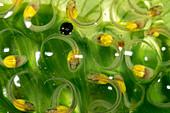 Glass-frog eggs