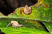 Leaf mimic bush cricket