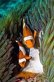False clownfish spawning