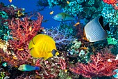 Butterflyfish and wrasse on a reef