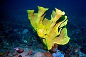 Frogfish camouflaged on sponge