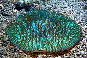 Mushroom coral fluorescing