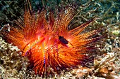 Urchin siphonfish and fire urchin