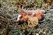 Longspine waspfish
