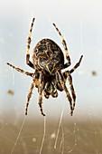 Bridge spider on its web