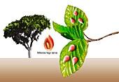 Gall midge galls on beech tree