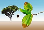 Beech weevil,illustration