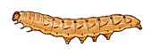 Mottled rustic caterpillar
