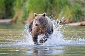 Brown bear running in water,Alaska,USA