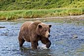 Brown bear walking in water,Alaska,USA