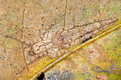 Huntsman spider camouflaged against leaf