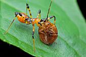 Assassin bug nymph eating ladybird