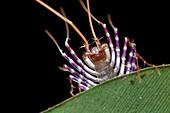 Centipede head