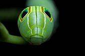 Hawk-moth caterpillar tail