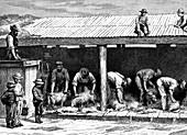 19th Century Australian sheep shearing