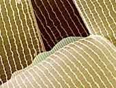 Moth wing scales,SEM