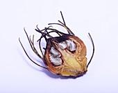 Aulax cancellata seed head