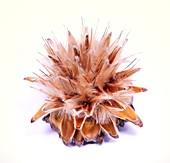 Leucadendron rubrum seed head