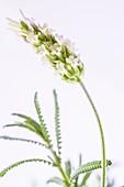 White lavender in flower