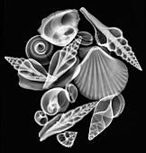 Sea shells,X-ray
