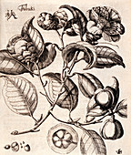 Camellia japonica flowers,illustration
