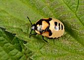 Pied shieldbug last instar larva