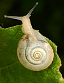 Kentish snail