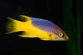 Spanish hogfish